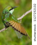 Common Green Bee-eater