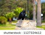sleek shiny  australian black ... | Shutterstock . vector #1127324612