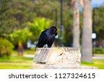 sleek shiny  australian black ... | Shutterstock . vector #1127324615