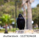 sleek shiny  australian black ... | Shutterstock . vector #1127324618