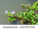 eichhornia crassipes  water... | Shutterstock . vector #1127327522