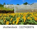 garden of sunflower  helianthus ...   Shutterstock . vector #1127428376