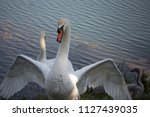 the wild swan protects its young | Shutterstock . vector #1127439035