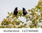 Pair of starlings singing on a...