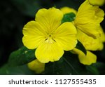 Close Up Of Yellow Flowers Of...