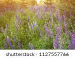 blooming lupine summer flowers. ... | Shutterstock . vector #1127557766