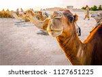 Camel Caravan Rest In Desert....