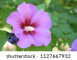 beautiful purple flower in the...   Shutterstock . vector #1127667932