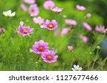 pink cosmos flowers in sunlight   Shutterstock . vector #1127677466