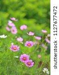 pink cosmos flowers in sunlight   Shutterstock . vector #1127677472