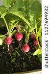 Small photo of Radish (Radish) is a small biennial plant. Cold plant Short stem between the roots and leaves. Have a taproot system It is a tougher rope called head to collect food.