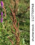 rumex obtusifolius  commonly... | Shutterstock . vector #1127700968
