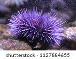 Purple sea urchin housed in an aquarium