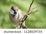the house sparrow  passer... | Shutterstock . vector #1128029735