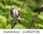 the house sparrow  passer... | Shutterstock . vector #1128029738