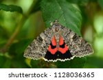 the french red underwing moth   ... | Shutterstock . vector #1128036365