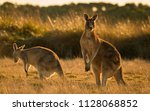Kangaroo In Open Field During ...