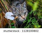 the wildcat is an endangered... | Shutterstock . vector #1128100802