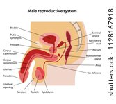 male reproductive system with... | Shutterstock .eps vector #1128167918