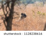 hyena on the move | Shutterstock . vector #1128238616