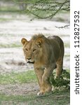 young male lion walking towards ...   Shutterstock . vector #112827532