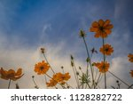 beautiful yellow cosmos flower  ... | Shutterstock . vector #1128282722