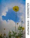 beautiful yellow cosmos flower  ... | Shutterstock . vector #1128282725