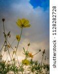 beautiful yellow cosmos flower  ... | Shutterstock . vector #1128282728