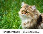 golden chinchilla persian...   Shutterstock . vector #1128289862