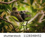 nestling of  common moorhen  ... | Shutterstock . vector #1128348452