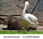pelicans are a large water... | Shutterstock . vector #1128353006