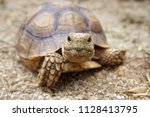 Stock photo close up baby african spurred tortoise resting in the garden slow life africa spurred tortoise 1128413795