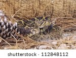 Timber rattlesnake showing his rattle and looking dangerous