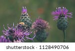 blooms with insect on it eating ... | Shutterstock . vector #1128490706