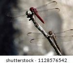 dragonflies lodged in dry tree... | Shutterstock . vector #1128576542