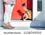 calico maine coon cat running... | Shutterstock . vector #1128745535