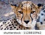 young cheetah near to solitaire ... | Shutterstock . vector #1128810962