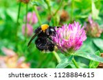 A Bumblebee Gathers Pollen On ...