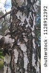 birch bark.the dried tree. | Shutterstock . vector #1128912392