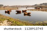a herd of long haired highland... | Shutterstock . vector #1128913745