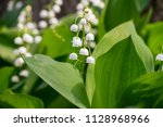 lily of the valley  convallaria ... | Shutterstock . vector #1128968966