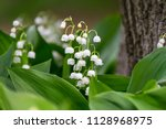 Lily Of The Valley  Convallaria ...