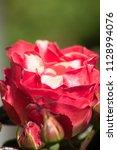 flowering noble nostalgia | Shutterstock . vector #1128994076