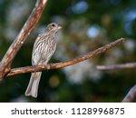 female house finch   photograph ... | Shutterstock . vector #1128996875