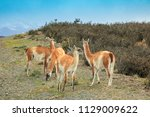 four guanacos are walking near... | Shutterstock . vector #1129009622