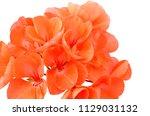 balmy geranium flower  isolated ... | Shutterstock . vector #1129031132