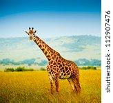 A Giraffe  Kenya