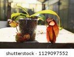 beautiful pitcher carnivorous...   Shutterstock . vector #1129097552