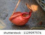 beautiful pitcher carnivorous...   Shutterstock . vector #1129097576