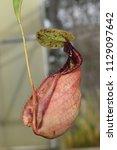 beautiful pitcher carnivorous...   Shutterstock . vector #1129097642